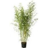 Bambou Bissetii